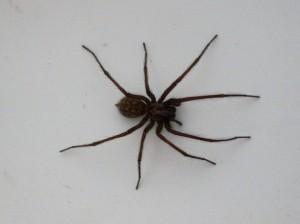 spinnen in huis